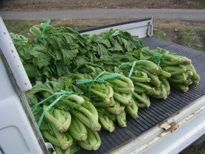 青菜を出荷します