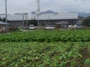 コロニーセンターの青菜畑です