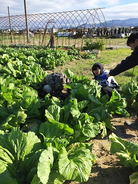 青菜収穫の様子 その2