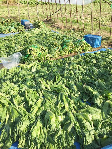青菜収穫の様子 その4