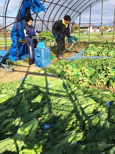青菜収穫の様子 その5