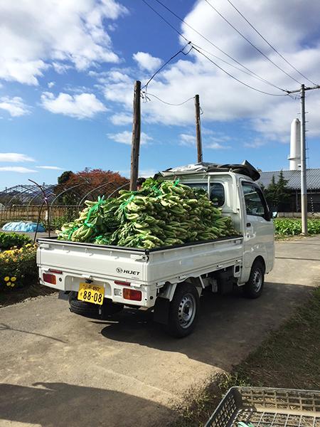 青菜収穫の様子 その6