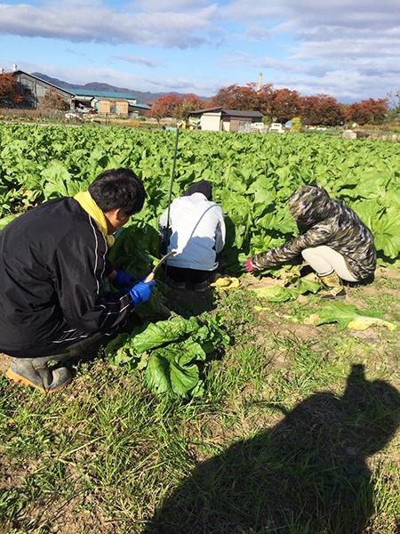 青菜収穫の様子 その1