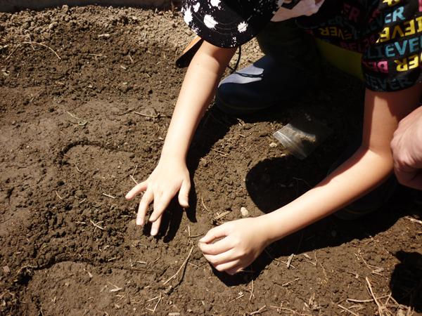 種蒔き後土をかける様子